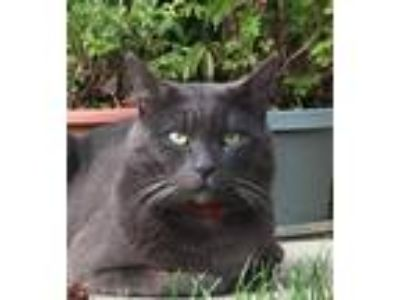Adopt Rocco a Gray or Blue Russian Blue / Mixed (short coat) cat in San Jose