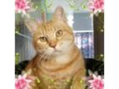 Adopt Sunshine a American Shorthair, Domestic Short Hair