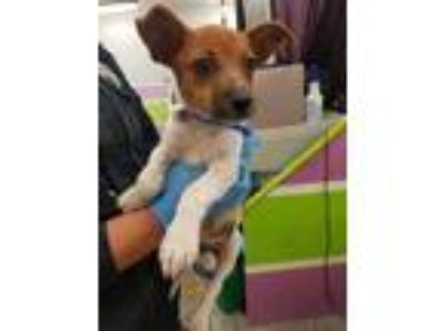 Adopt CHARLIE a Brown/Chocolate - with White Fox Terrier (Smooth) / Mixed dog in