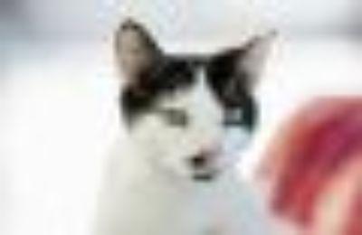 Capella Domestic Short Hair Cat