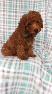 Poodle (Standard) PUPPY FOR SALE ADN-99014 - Charlie the Mini Poodle