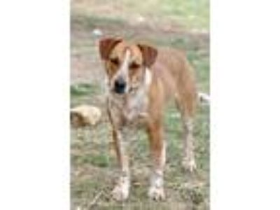 Adopt Pedro a Red/Golden/Orange/Chestnut - with White Australian Cattle Dog /