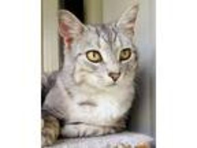 Adopt Ruby a Domestic Short Hair