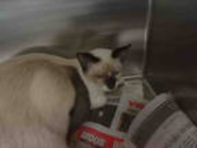 Adopt NESSIE a Brown or Chocolate (Mostly) Siamese / Mixed (short coat) cat in