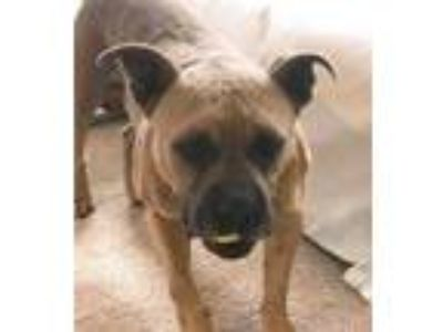 Adopt Buzz a Tan/Yellow/Fawn - with Black Boxer / Bullmastiff / Mixed dog in