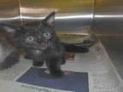 Adopt BROWNIE a Black (Mostly) Domestic Shorthair / Mixed (short coat) cat in