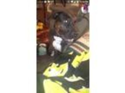 Adopt Queenie a Brown/Chocolate - with White Labrador Retriever / Mixed dog in