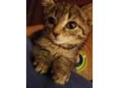 Adopt Remmey a Domestic Short Hair