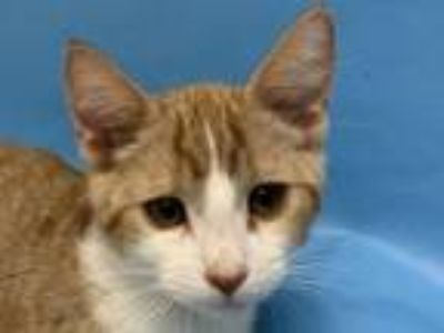 Adopt Tesla a Domestic Short Hair