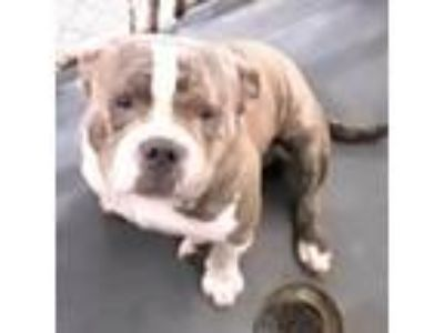 Adopt Brutus (Chapo) a Brindle Staffordshire Bull Terrier dog in Fort Smith