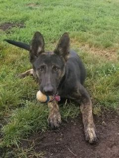 Dutch Shepherd Dog-German Shepherd Dog Mix PUPPY FOR SALE ADN-98307 - Beautiful Shepherd
