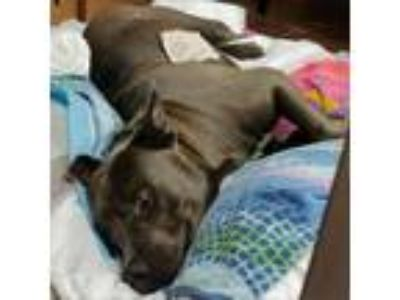 Adopt Plankton a American Pit Bull Terrier / Mixed dog in Austin, TX (25891509)