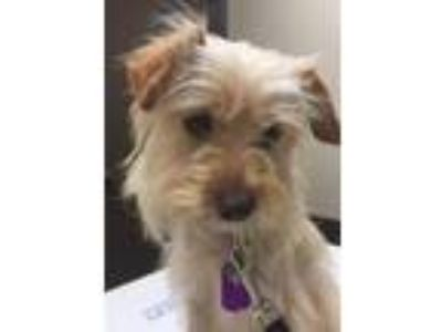 Adopt Henry a Yorkshire Terrier, Terrier