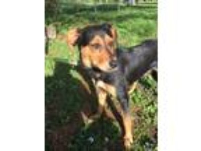 Adopt April a Black and Tan Coonhound, Labrador Retriever