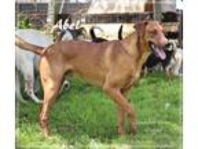 Adopt Abel a Tan/Yellow/Fawn Vizsla / Mixed dog in Columbia, KY (25838943)