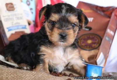 Healthy Cute M/F Teacup Yorkshire Terrier Puppies