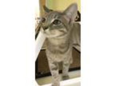 Adopt KIM a Domestic Short Hair