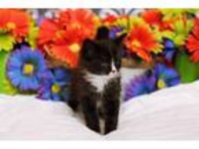 Adopt Flynn a Domestic Medium Hair