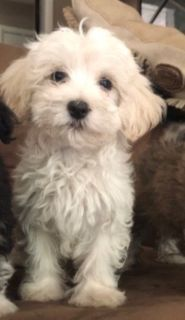 Havanese PUPPY FOR SALE ADN-99586 - AKC Havanese Litter