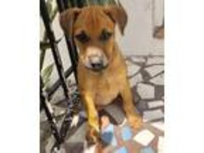 Adopt Gia a Red/Golden/Orange/Chestnut - with Black Golden Retriever / Labrador