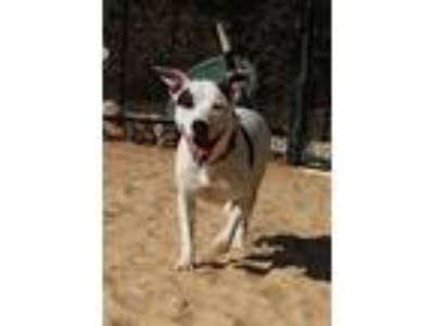 Adopt Diana a American Staffordshire Terrier, Border Collie