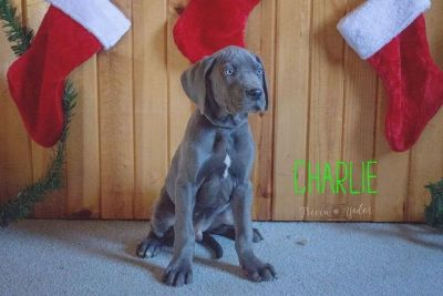 Charlie Great Dane