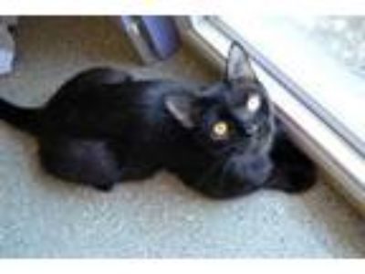 Adopt Julep a All Black Domestic Shorthair / Domestic Shorthair / Mixed cat in