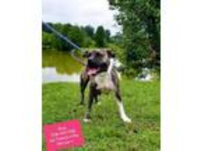 Adopt Hava a Brindle Terrier (Unknown Type, Small) / Mixed dog in Pickens