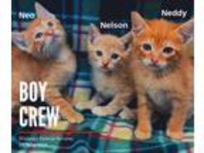Adopt Boy Crew a Orange or Red Tabby Domestic Shorthair (short coat) cat in