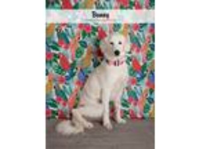 Adopt Bunny a Great Pyrenees