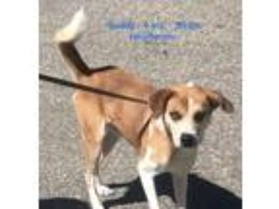 Adopt Buddy a Husky / Pit Bull Terrier / Mixed dog in Albany, GA (25306313)