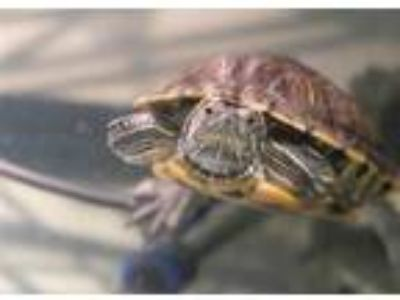 Adopt STEPH a Turtle - Water / Mixed reptile, amphibian, and/or fish in Denver