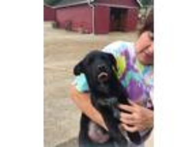 Adopt Bl Lab pup F a Black - with White Labrador Retriever / Mixed dog in