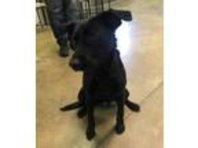 Adopt Midnight a Black Terrier (Unknown Type, Small) / Labrador Retriever /