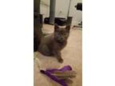 Adopt Ziggy KITTEN a Gray or Blue Domestic Shorthair / Mixed (short coat) cat in