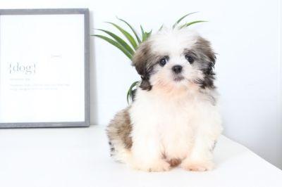 Shih Tzu PUPPY FOR SALE ADN-99050 - Duke Male Shih Tzu Puppy