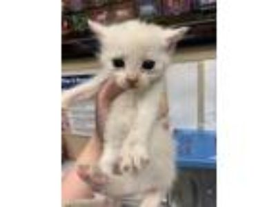 Adopt Whitney a White Domestic Mediumhair / Domestic Shorthair / Mixed cat in