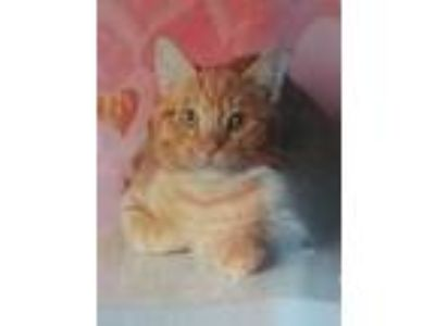 Adopt Pumpkin a Orange or Red Tabby Domestic Shorthair (short coat) cat in