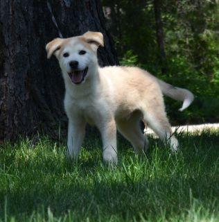 Husky Labrador Pup..!!