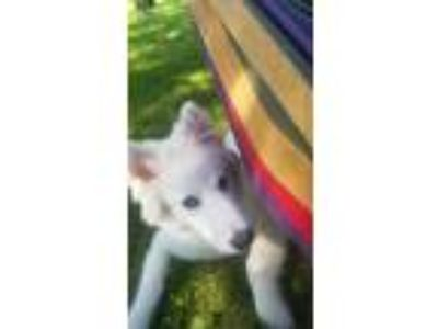 Adopt Eddie Wolfgang a White Husky dog in Orchard Park, NY (25645432)