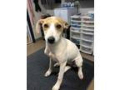 Adopt Ellie May a White Jack Russell Terrier / Mixed dog in Cumming