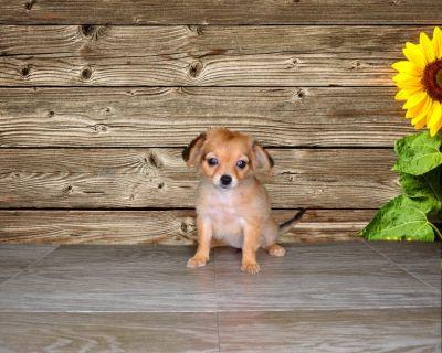 Maya is a female Chihuahua