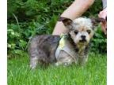 Adopt Daisy and Blackie a Shih Tzu, Yorkshire Terrier