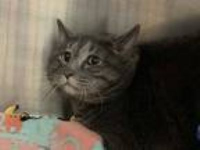 Adopt FISH STICK a Gray or Blue Domestic Shorthair / Mixed (short coat) cat in