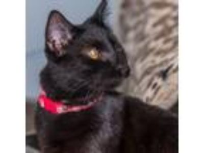 Adopt CAPTAIN JACK a Domestic Short Hair