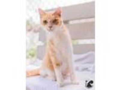 Adopt Sonar a Orange or Red Domestic Shorthair / Domestic Shorthair / Mixed cat