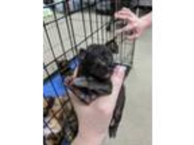 Adopt Bird 1 a All Black Domestic Shorthair / Domestic Shorthair / Mixed cat in
