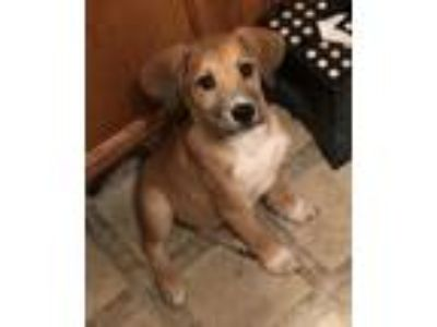Adopt Charlie a Labrador Retriever, German Shepherd Dog