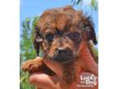 Adopt Van a Red/Golden/Orange/Chestnut - with Black Terrier (Unknown Type