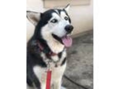 Adopt Shadow a Black - with White Husky dog in Hanford, CA (25618227)